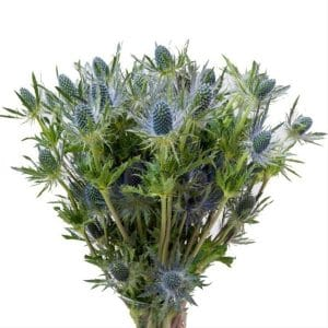blue eryngium, blue flowers