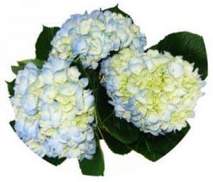 blue hydrangea stem